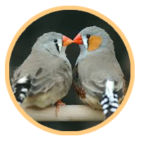 Elimination of a germline-restricted chromosome (GRC) in a zebra finch