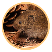 Cytogenetic and molecular mechanisms of the formation of hybrid sterility in gray voles