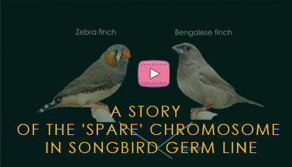A story of the 'spare' chromosome in songbird germ line